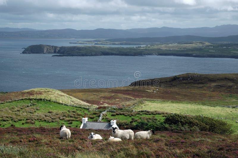 irlandzcy krajobrazowi owce zdjęcie stock