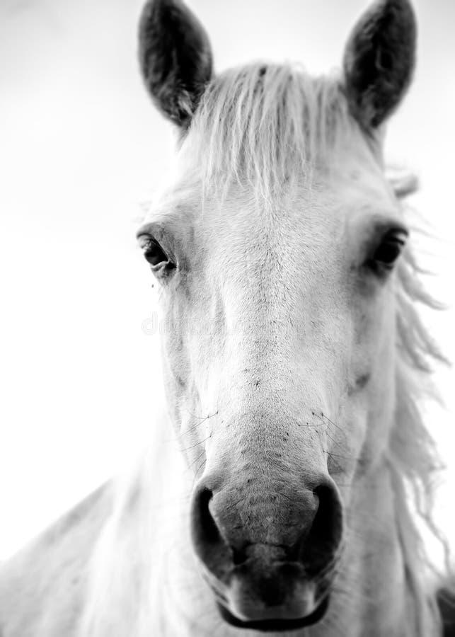 Irlandzki Biały koń fotografia stock