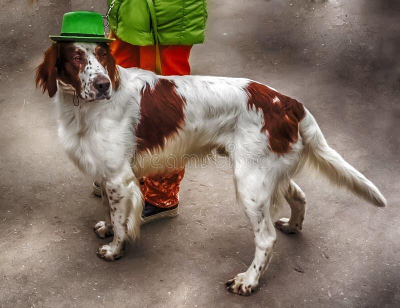 Irlandzki legart w Zielonym kapeluszu obrazy stock