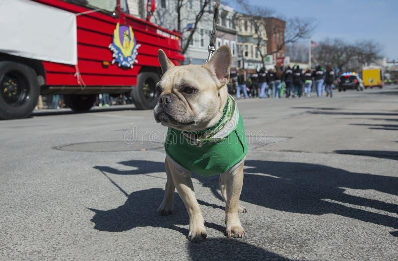 Irlandzki mopsa pies, St Patrick dnia parada, 2014, Południowy Boston, Massachusetts, usa obraz royalty free