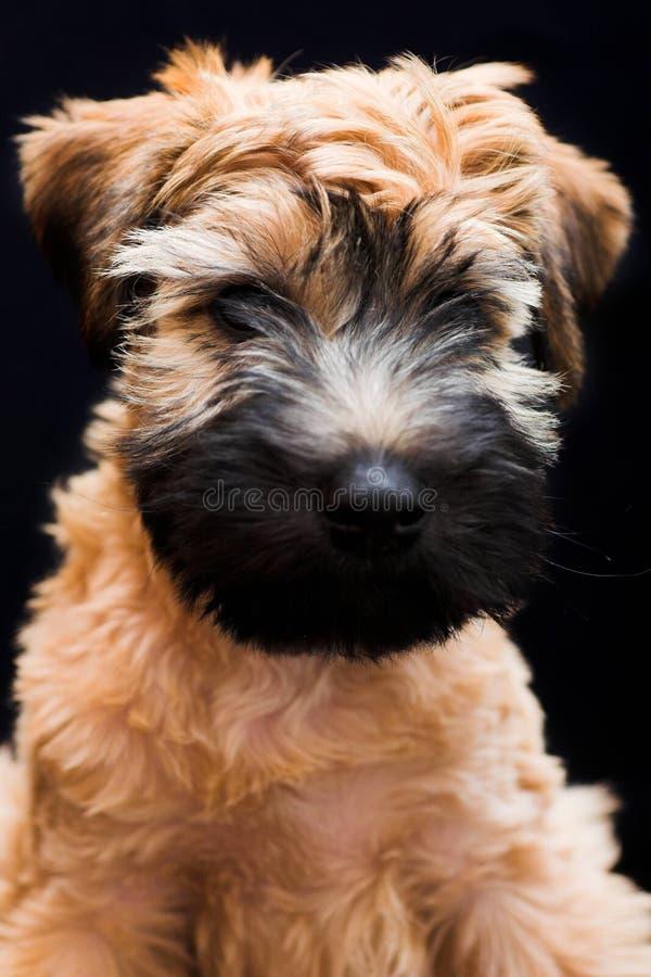 irlandzki powlekana miękki terrier wheaten fotografia royalty free