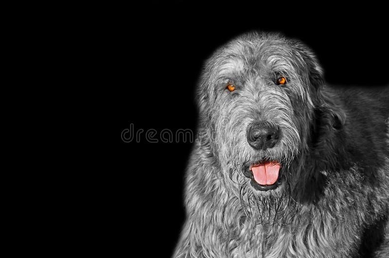 Irlandzkiego wolfhound psa merdania jęzoru poza odizolowywająca na czerni obraz royalty free