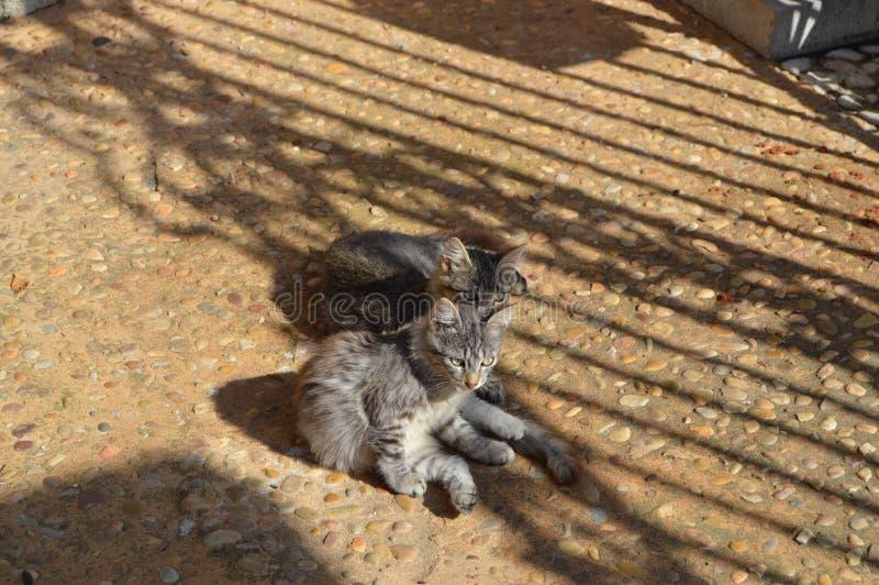 Irmãos cinzentos macios do gatinho foto de stock royalty free