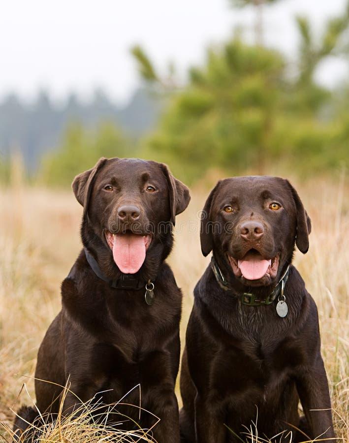 Irmãos de Labrador do chocolate no campo foto de stock