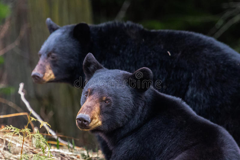 Irmãos do urso fotos de stock
