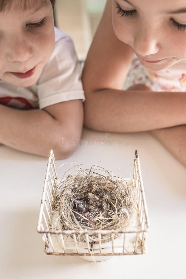 Irmãos mais novo observando o ninho com os dois pintainhos do pintassilgo fotos de stock