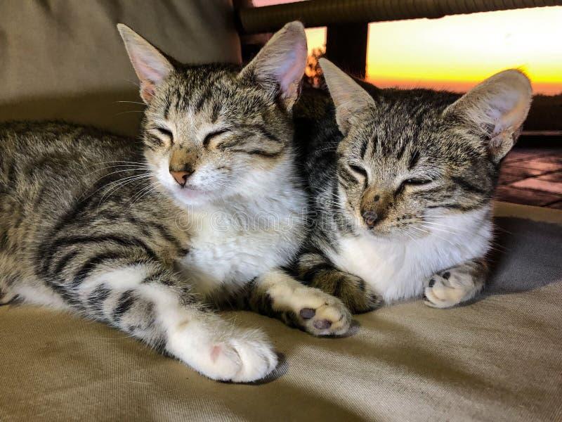 Irm?os do gatinho do gato de gato malhado que tentam dormir fotos de stock