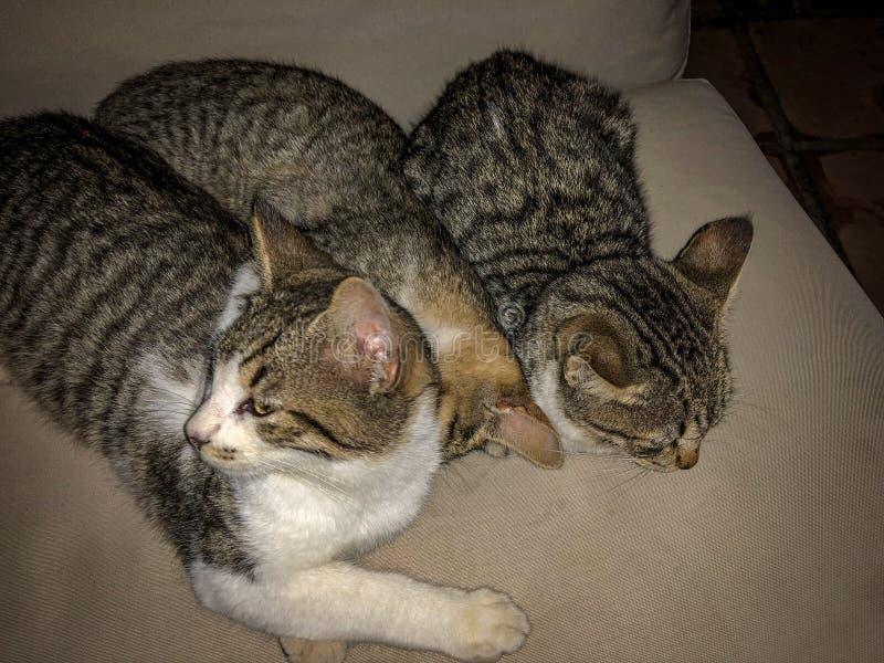 Irm?os do gatinho do gato de gato malhado que tentam dormir fotos de stock royalty free
