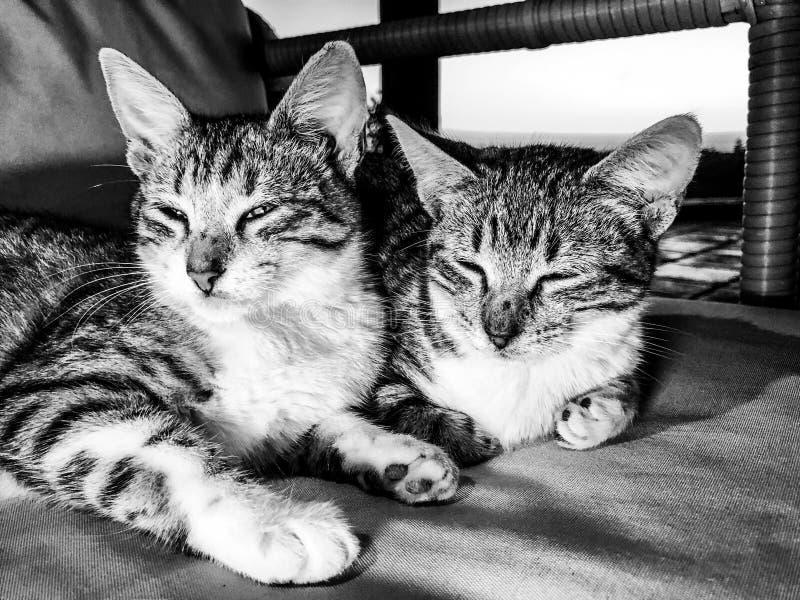 Irm?os do gatinho do gato de gato malhado que tentam dormir foto de stock