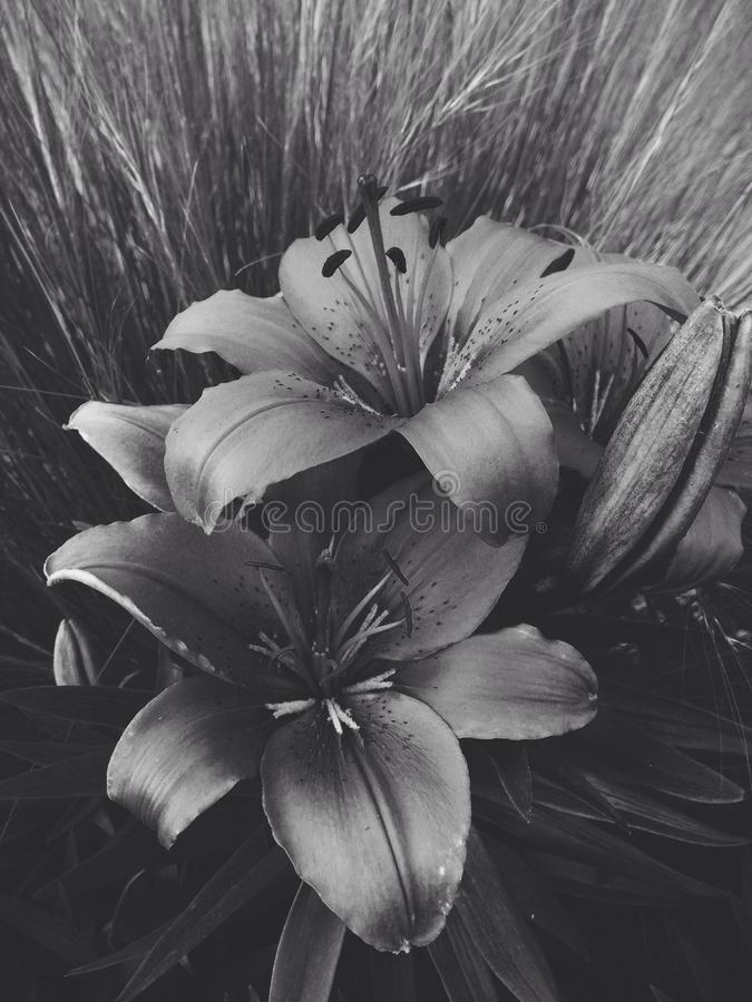 Download iron lilies stock image image of flowers lily black 42594489