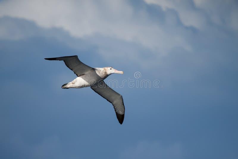 Irrande albatross (Diomedea exulans) arkivfoton