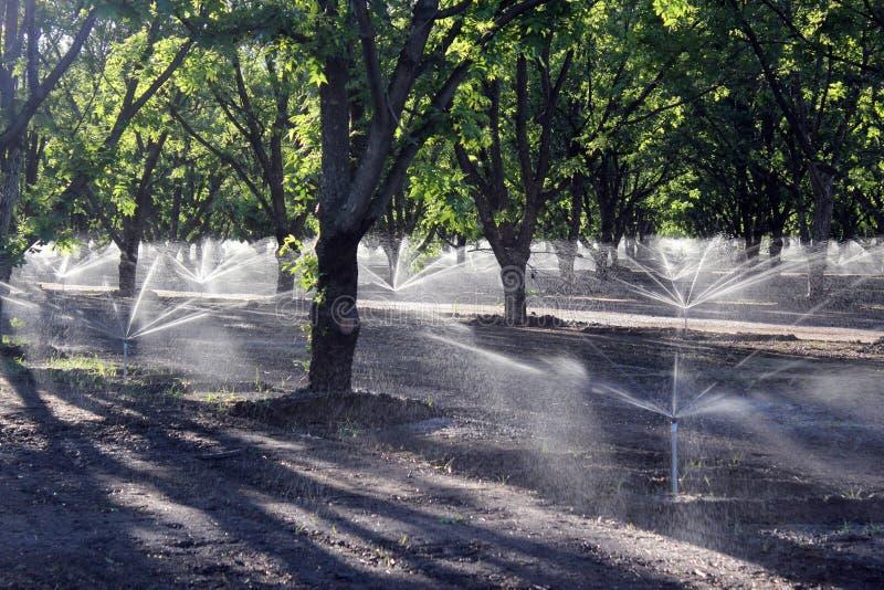 Irrigação da árvore de Pecan foto de stock