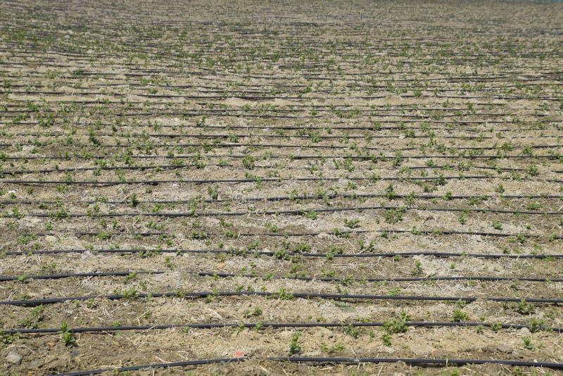 A irrigação de gotejamento no campo, mangueiras pretas goteja a irrigação foto de stock