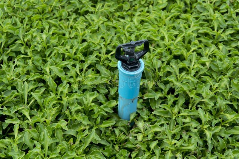 Irrigación de regadera en el cultivo del berro imágenes de archivo libres de regalías
