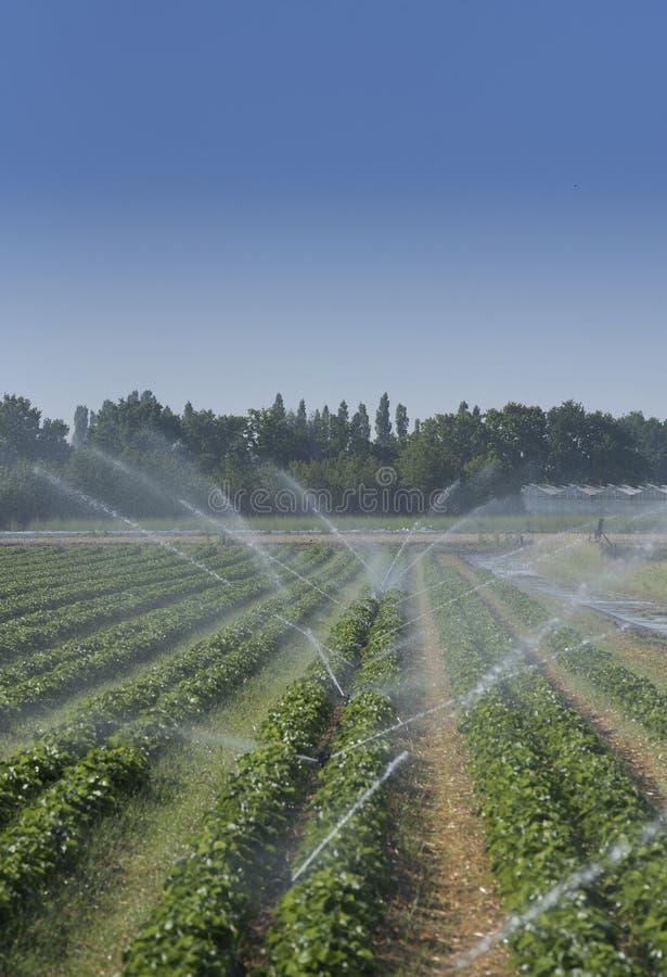Irrigación en el campo de la fresa fotos de archivo