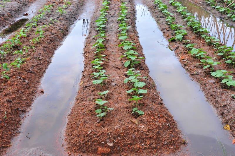 Irrigación en una granja vegetal imagen de archivo libre de regalías