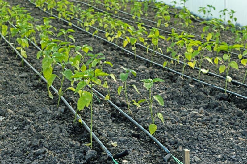 Irrigación por goteo de los almácigos de la pimienta en el invernadero imagen de archivo libre de regalías