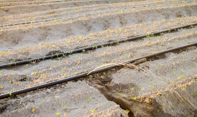 Irrigaci?n por goteo en el campo Ventajas: cosecha temprana, ahorro del agua Verduras org?nicas crecientes farming Agricultura Pr foto de archivo libre de regalías