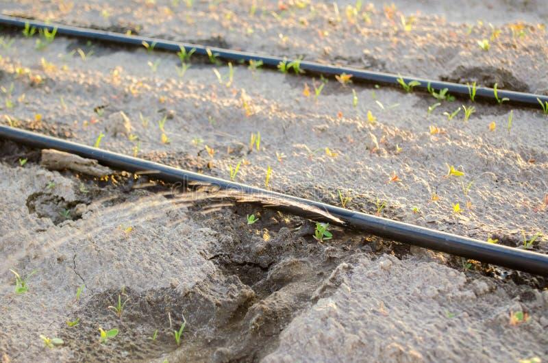 Irrigaci?n por goteo en el campo Ventajas: cosecha temprana, ahorro del agua Verduras org?nicas crecientes farming Agricultura Pr foto de archivo