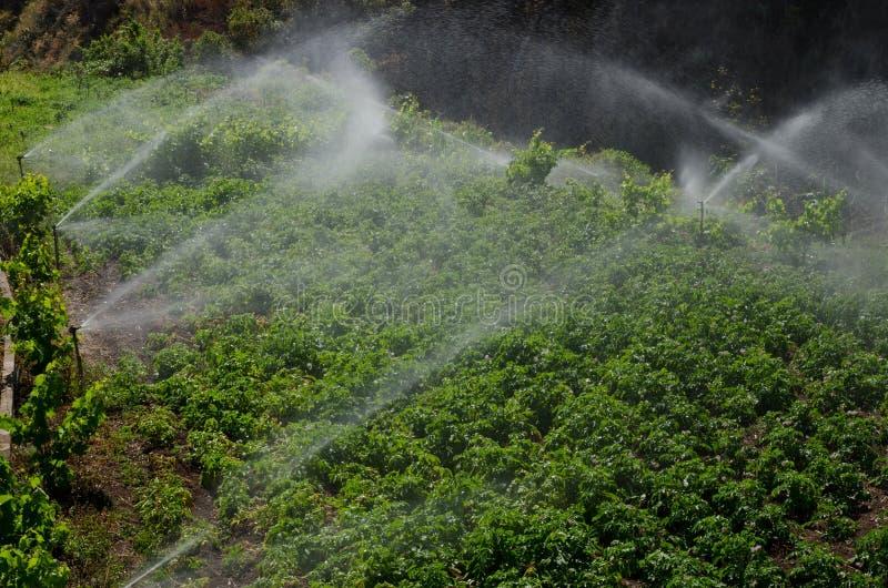 Irrigatie van een aardappelscultuur stock afbeelding