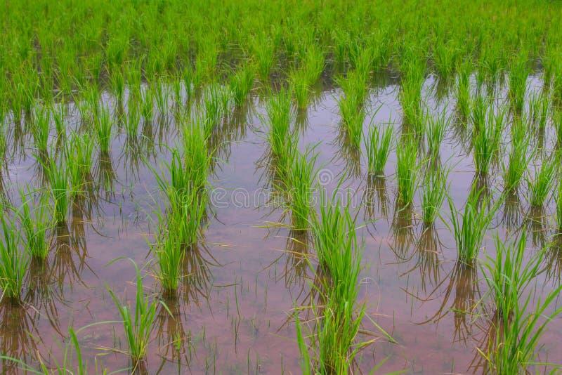 Irrigatiekanaal, waterweg, Watertrog in padieveld stock foto's