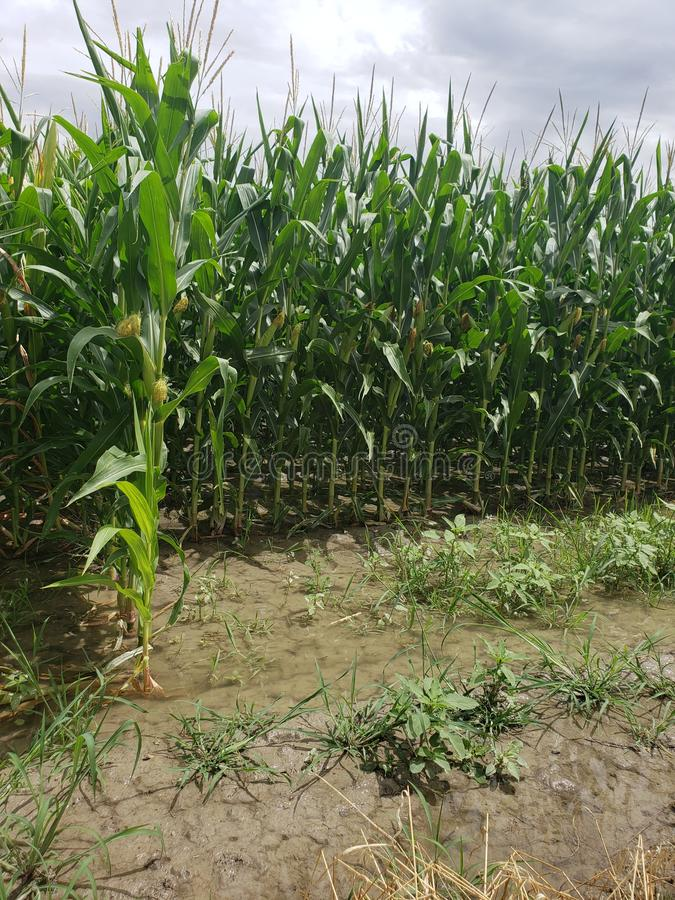 Irrigating corn fields. Large, alfalfa, hay, baled, field, agricultural, farmers, farming, livestock, feed, food, sky, rural, ton, green, bales, cows, water royalty free stock images