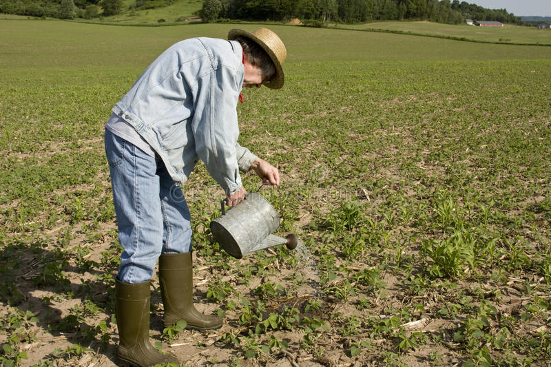 Irrigating crops. Agriculture worker irrigating crops with a watering can royalty free stock images