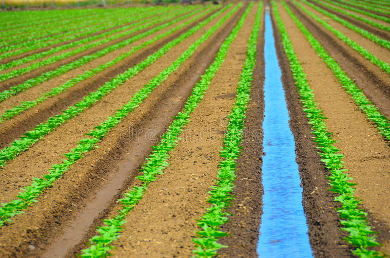 Irrigating Field of Crops. Irrigation and Farming of Sunflower Crops in Central Valley, California royalty free stock images