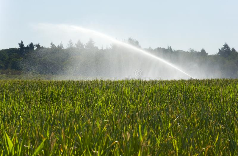 Irrigating maize in summer. Irrigating the maize in a period of drought in the summer in the Netherlands stock photo