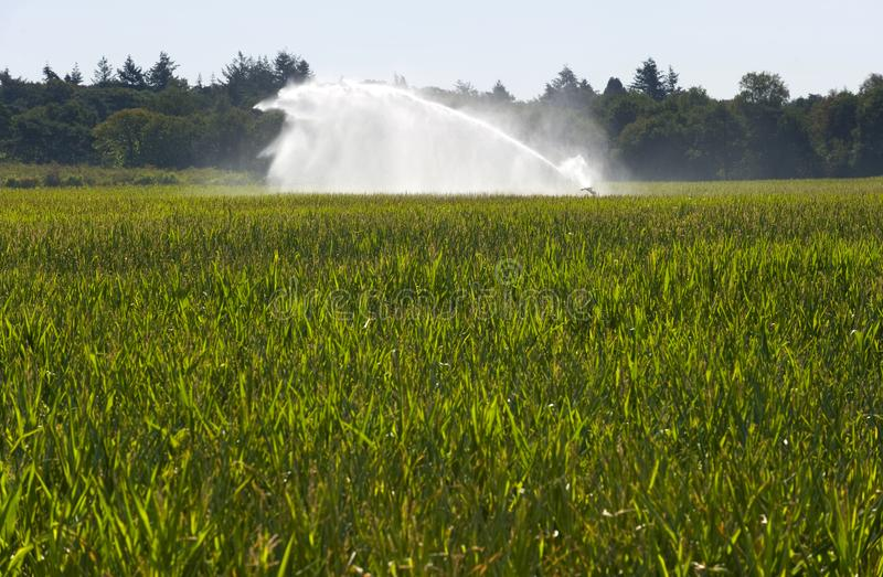 Irrigating maize in summer. Irrigating the maize in a period of drought in the summer in the Netherlands stock photography