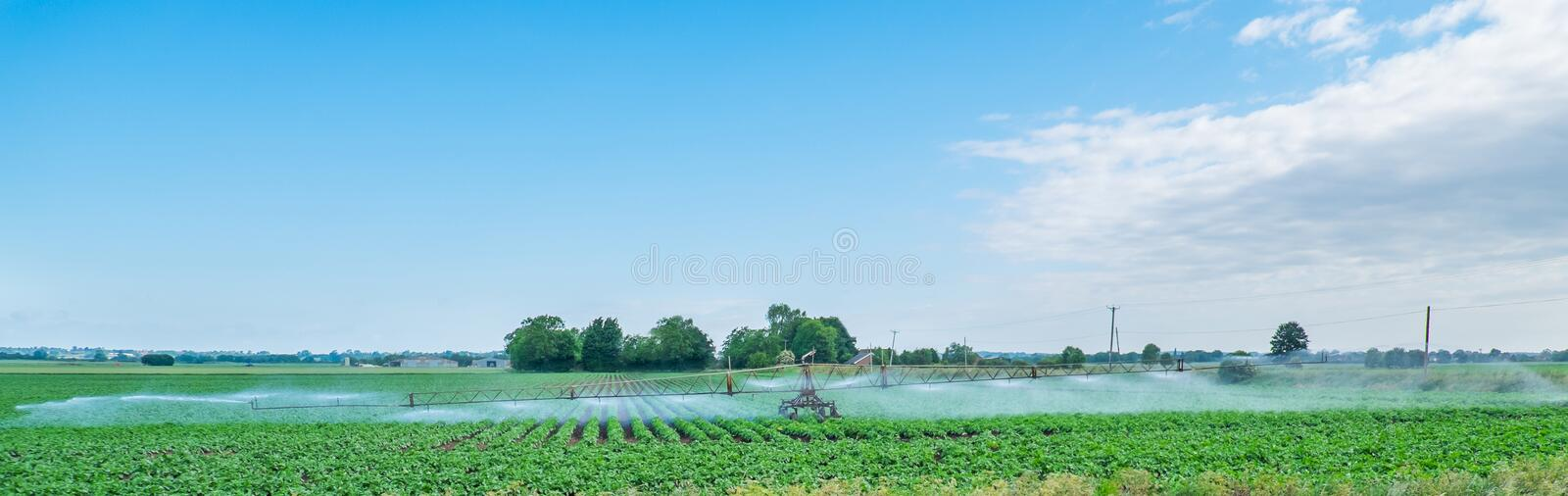 Irrigating potatoes. Panoramic image of a field of potatoes being watered in a dry spell stock photography