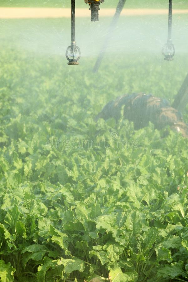 Sugar beets in the field irrigated by a center pivot irrigation system. Large mature sugar beets being irrigated in the fertile farm fields of Idaho stock photo