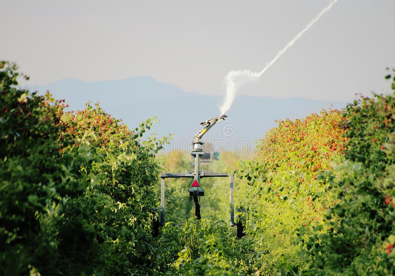 Irrigating Washington Raspberries royalty free stock images