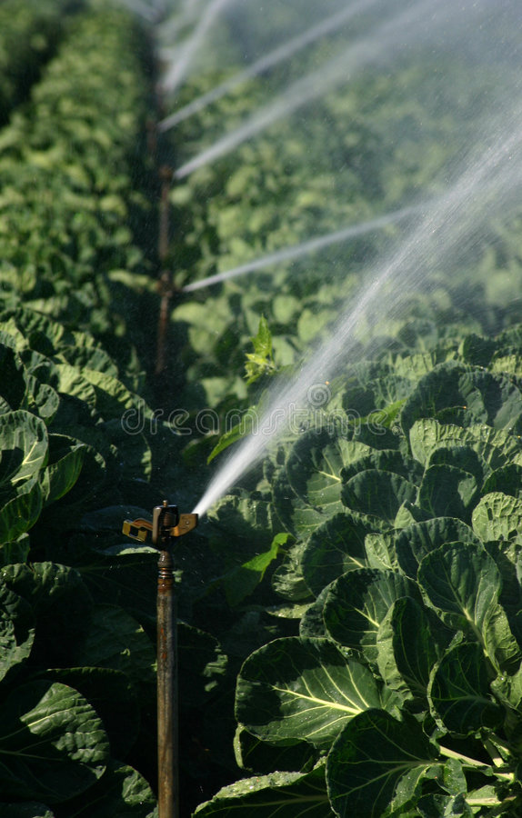 Irrigation. System working to water plants (Brussel sprouts) - portrait format stock photo