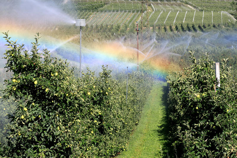 Irrigation of an apple orchard in hot Italy. During a hot, dry summer in the north of Italy a farmer is irrigating the apple orchard and the sun conjures up a royalty free stock photos