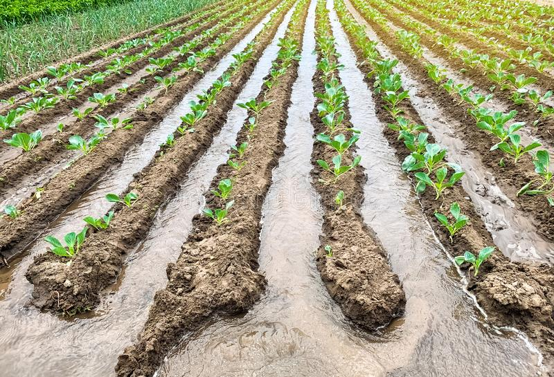 Irrigation cabbage plantations in the field. Traditional natural watering. Eco-friendly products. Agriculture and farmland. Crops. Growing organic vegetables stock photos