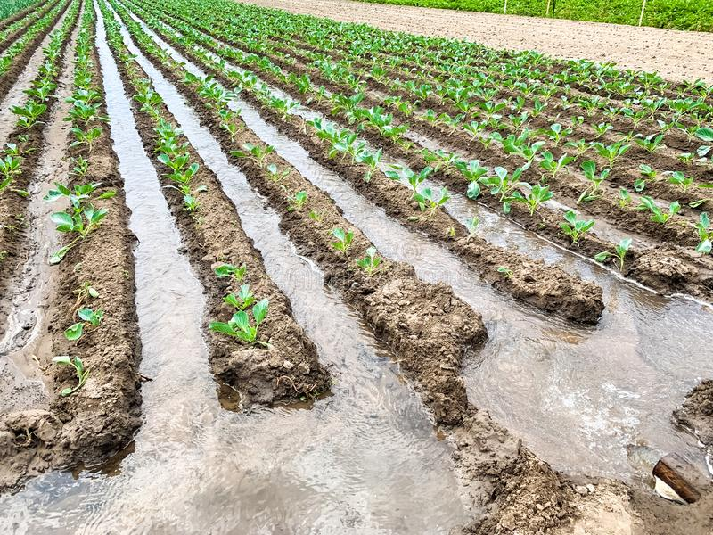 Irrigation cabbage plantations in the field. Traditional natural watering. Eco-friendly products. Agriculture and farmland. Crops. Growing organic vegetables stock photo