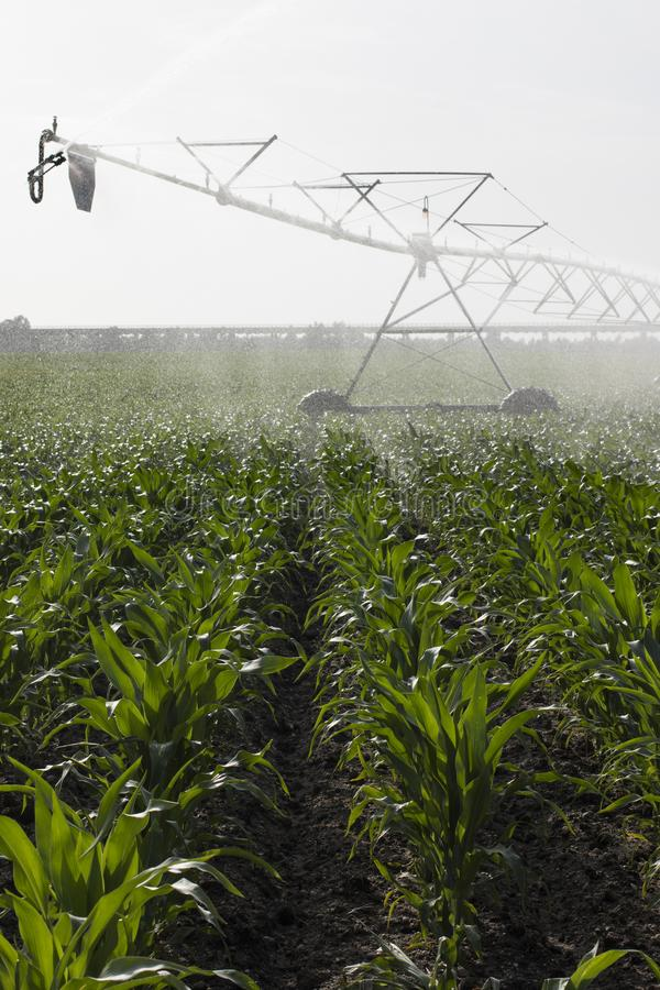 Irrigation of corn field. Landscape view of a center pivot system irrigation system working on a corn field royalty free stock photo