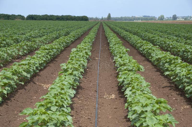 Irrigation of cotton field royalty free stock photo