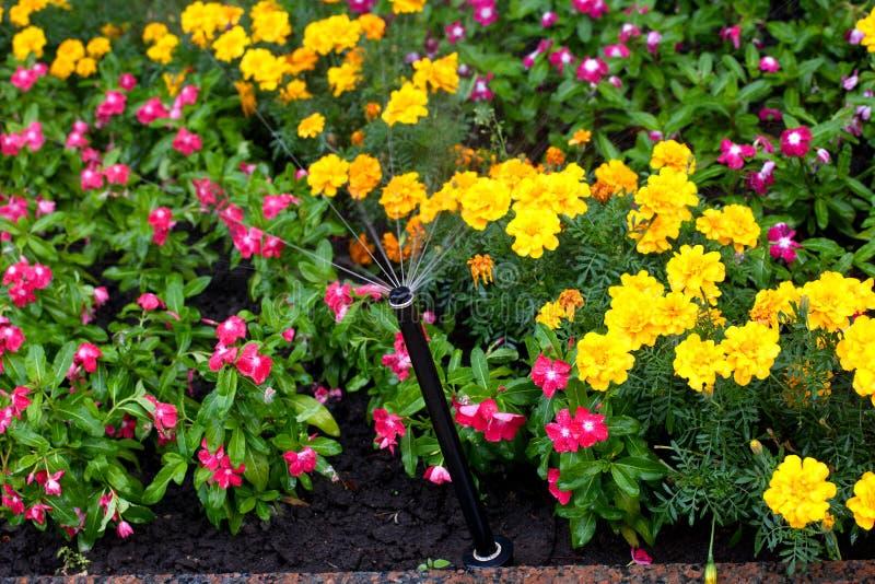 Irrigation of flower beds. Park infrastructure, grass, flowers, drop, droplet, marigold, Waller`s balsam stock photo