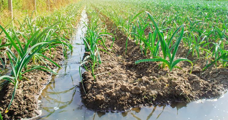 Irrigation leek in the field. Traditional natural watering. Eco-friendly products. Agriculture and farmland. Crops. Ukraine,. Kherson region. Growing organic stock images
