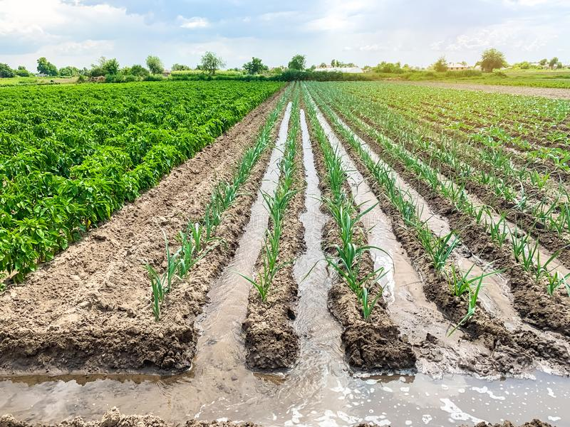 Irrigation of leek plantations in the field. Traditional natural watering. Eco-friendly products. Agriculture and farmland. Crops. Growing organic vegetables royalty free stock photography