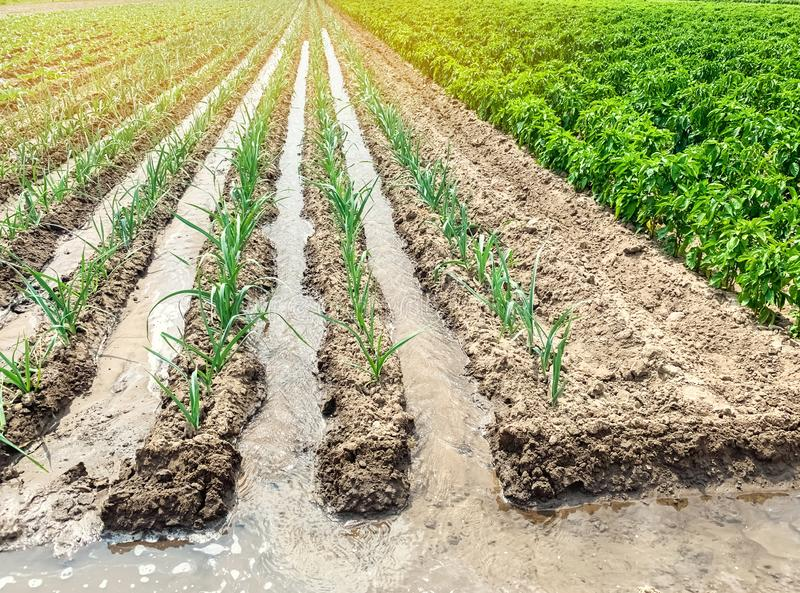 Irrigation of leek plantations in the field. Traditional natural watering. Eco-friendly products. Agriculture and farmland. Crops. Growing organic vegetables royalty free stock photo