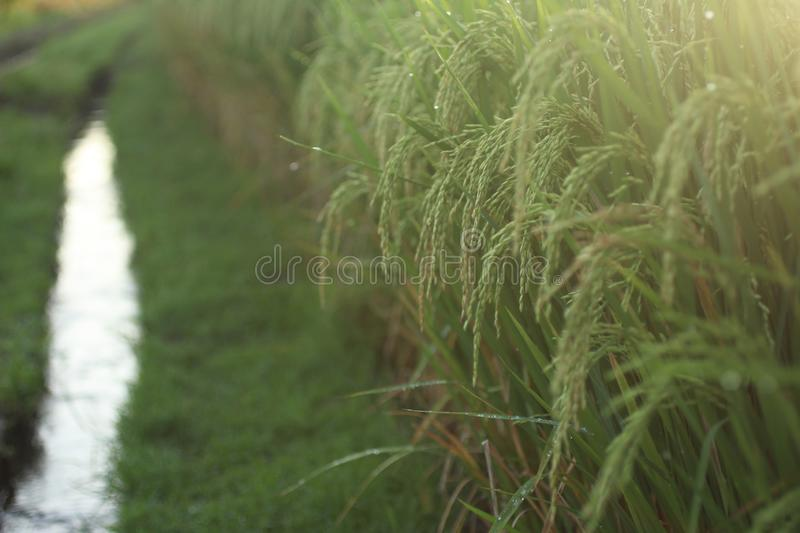 Paddy field closeup in the field at sunrise. Morning warm light over rice field royalty free stock image
