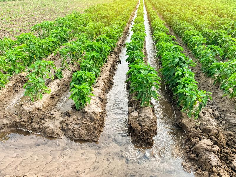 Irrigation of pepper plantations in the field. Traditional natural watering. Eco-friendly products. Agriculture and farmland. stock photo