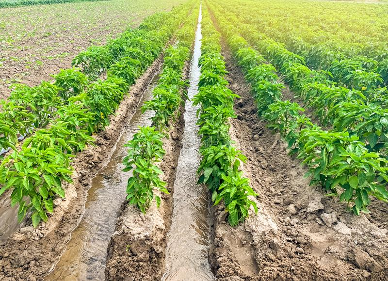 Irrigation of pepper plantations in the field. Traditional natural watering. Eco-friendly products. Agriculture and farmland. royalty free stock image