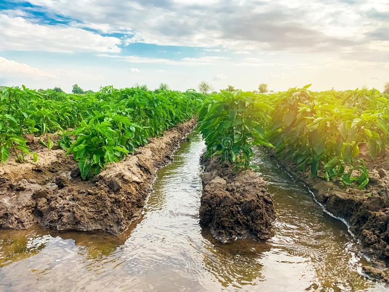 Irrigation of pepper plantations in the field. Traditional natural watering. Eco-friendly products. Agriculture and farmland. Crops. Growing organic vegetables stock photos