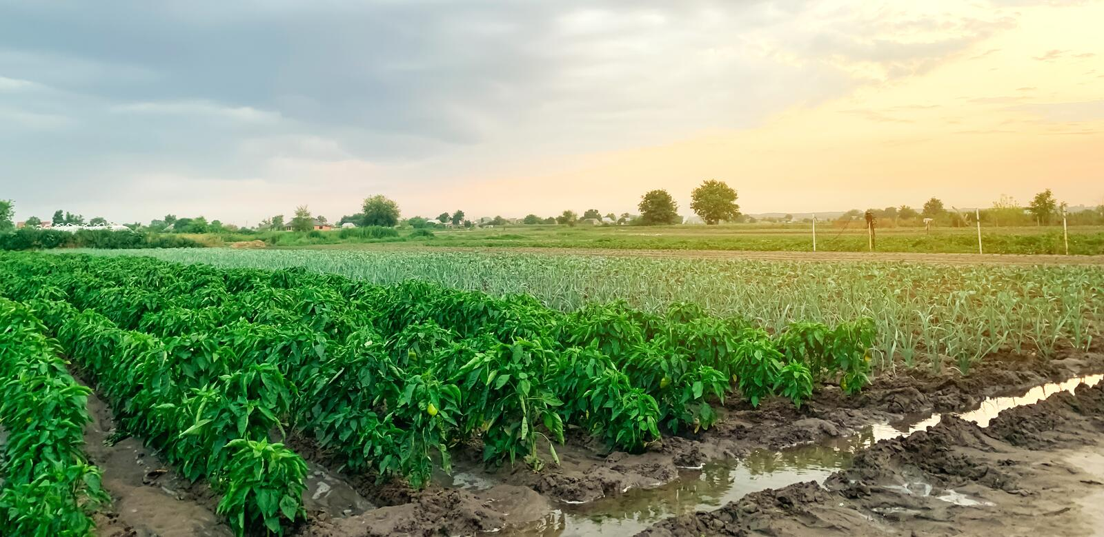 Irrigation of pepper plantations in the field. Traditional natural watering. Eco-friendly products. Agriculture and farmland. royalty free stock photos
