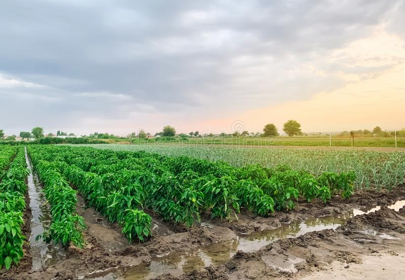 Irrigation of pepper plantations in the field. Traditional natural watering. Eco-friendly products. Agriculture and farmland. stock photography