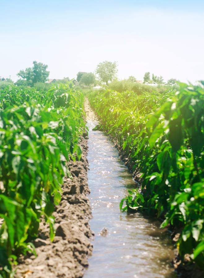 Irrigation of peppers in the field. Traditional natural watering. Eco-friendly products. Agriculture and farmland. Crops. Ukraine. Kherson region. Growing stock photography